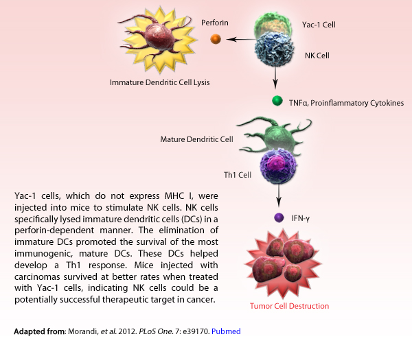 Perfroin, Yac-1 Cell, NK Cell, Immature Dendritic Cell, TND-a, Proinflmmatory Cell, Mature Dendritic Cell, Th1 Cell, IFN-y Cell, Tumor Cell Destruction. Yac-1 cells, which do not express of MHC I, were injected into mice to stimulate NK cells. NK cells specifically lysed immature dendritic cells (DCs) in a perforin-dependent manner. The elimination of immature DCs promoted the survival of the most immunogenic, mature DCs. These DCs helped develop a Th1 response. Mice injected with carcinomas survived at better rate when treated with Yac-1 cells, indicating NK cells could be a potentially successful therapeutic target in cancer.